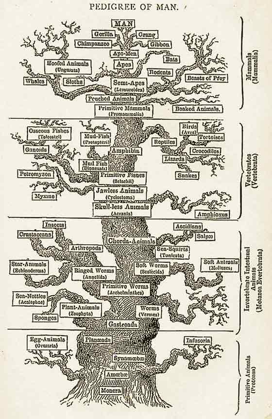 Haeckel tree