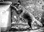 Fox in the Dustbin