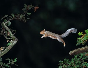 Grey Squirrel from Oak Tree