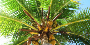 Palm Fruit