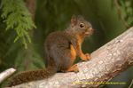 Douglas_squirrel_on_cedar_tree_bran
