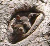 Squirrels_in_hole_small_3